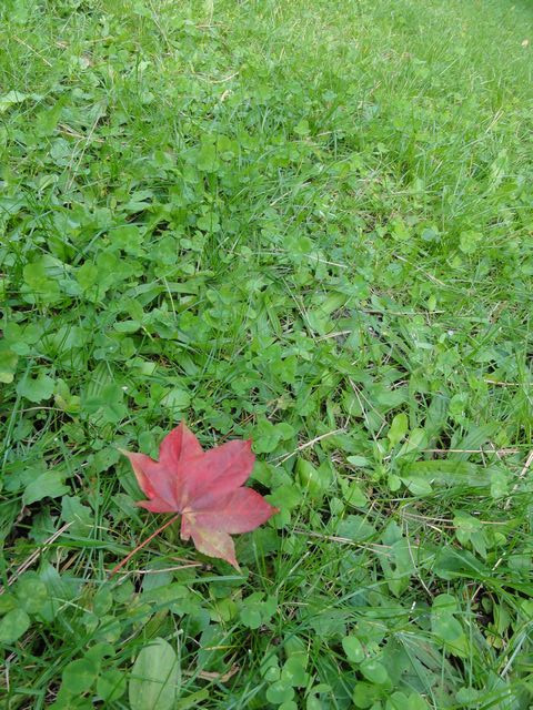 Maple_2