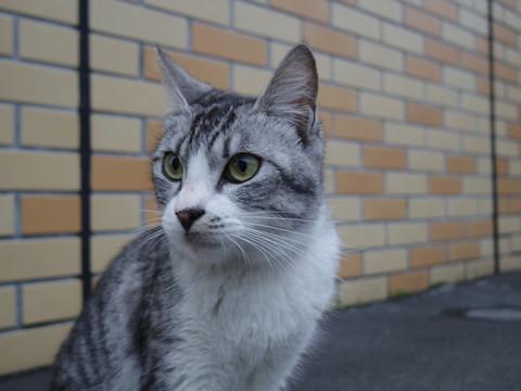 Hibari_cat03