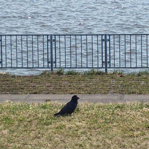 Jungle_crow
