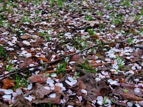 Carpet_of_petals