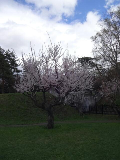 桜@天神山緑地