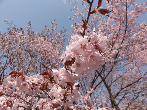 Cherry_tree