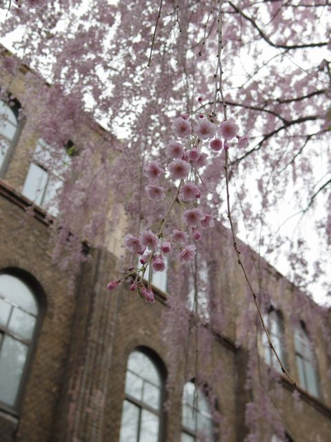 Weeping_cherry_tree