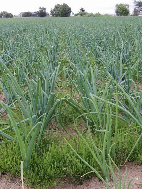 Onion_field