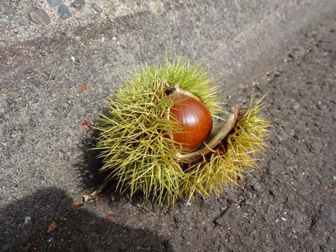Fruit_of_the_chestnut